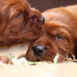 Шикарные щенки Ирландского красного сеттера